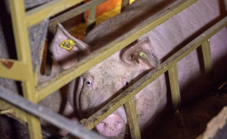 An image of a pig in a pen
